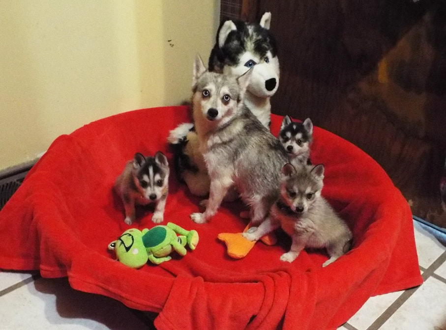 Current Litters - Mini Toy Huskies